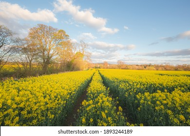 Colourful countryside landscape of fields of yellow rapeseed (Brassica napus) on a Spring evening in Cramond on the outskirts of Edinburgh, Scotland.