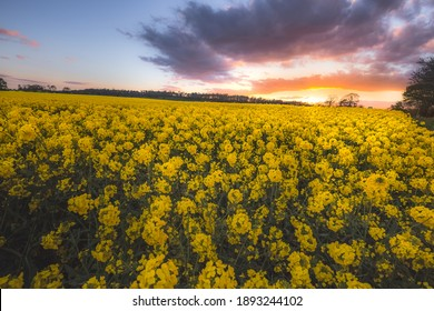 Colourful countryside landscape at sunset or sunrise of fields of yellow rapeseed (Brassica napus) on a Spring evening in Cramond on the outskirts of Edinburgh, Scotland.