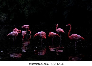 Colourful cuban flamingos group in the water