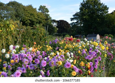 A colourful display of flowers in allotments , kitchen gardens .