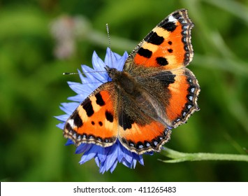 Colourful European Small Tortoiseshell butterfly (Aglais urticae) feeding on blue corn flower in summer.