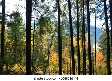 Colourful fall foliage and a mountain seen through the trunks of a stand of lodge pole pine trees