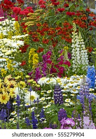 A colourful flower border with Lysimachia, Lupins, Heleniums and Leucanthemums in a cottage garden