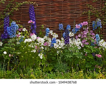 A colourful flower border with mixed planting  including white and pink lavatera, delphiniums against a wicker fence