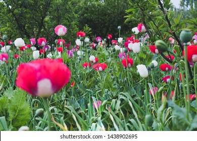 Colourful flowers of opium poppy. opium poppy fields. Papaver somniferum, commonly known as the opium poppy or breadseed poppy, is a species of flowering plant in the family Papaveraceae.