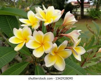 A colourful frangipani bloom early in the morning.