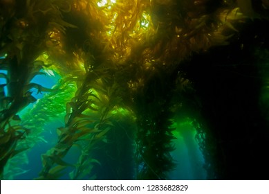 Colourful Giant Kelp plants seascape with sun in the background in cold water