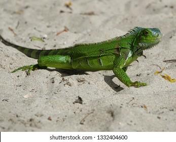Colourful green iguana having a walk on a beach of Guadeloupe archipelago in the Caribbean sea