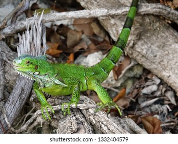 Colourful green iguana holding onto wood on the beach of Guadeloupe archipelago in the Caribbean sea