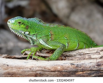 Colourful green iguana holding onto wood on the Guadeloupe archipelago in the Caribbean sea