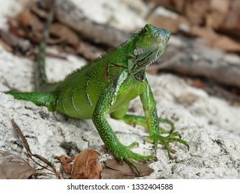 Colourful green iguana looking at you Guadeloupe archipelago in the Caribbean sea