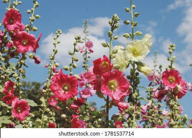Colourful hollyhocks, or 'Alcea' in bloom over the summer months
