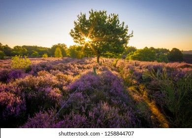 Colourful horizontal sunrise heather landscape with sun rays shining through a tree located in the middle of purple heather field at the National Park Hoge Veluwe, serene no people, Netherlands Europe