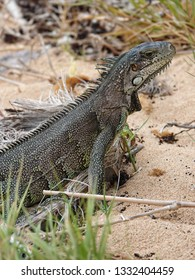 Colourful iguana in detail  hiding in grass on the beach of Guadeloupe archipelago in the Caribbean sea