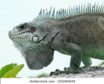 Colourful iguana in detail on a stone wall above the Guadeloupe archipelago in the Caribbean sea