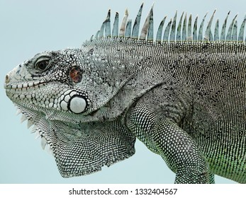 Colourful iguana in detail on a stone wall above Guadeloupe archipelago in the Caribbean sea