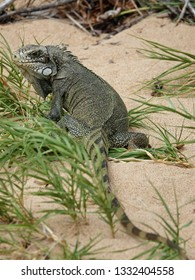 Colourful iguana hiding in grass on the beach of Guadeloupe archipelago in the Caribbean sea