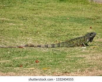 Colourful iguana on grass of Guadeloupe archipelago in the Caribbean sea