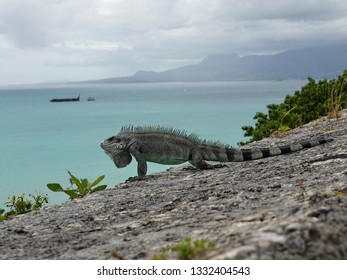 Colourful iguana on a stone wall above the Guadeloupe archipelago with the Caribbean sea in background