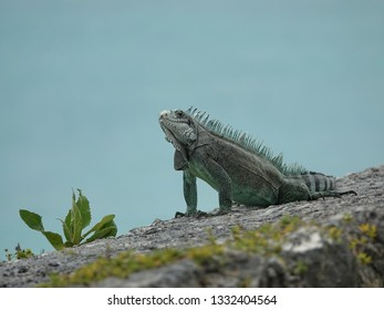 Colourful iguana on a stone wall looking at you above the Guadeloupe archipelago with the Caribbean sea in background