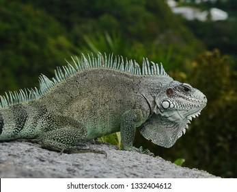 Colourful iguana on a stone wall on the Guadeloupe archipelago in the Caribbean sea