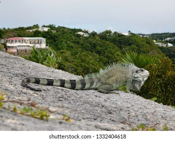 Colourful iguana on a stone wall above the Guadeloupe archipelago in the Caribbean sea