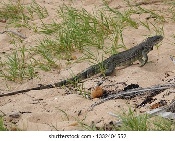 Colourful iguana running through grass on the beach of Guadeloupe archipelago in the Caribbean sea