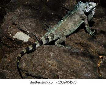 Colourful iguana sunbathing on rocks of Guadeloupe archipelago in the Caribbean sea