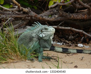 Colourful iguana walking out of the woods on the beach of Guadeloupe archipelago in the Caribbean sea