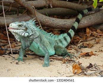 Colourful iguana walking out of the woods sticking its tongue out on the beach of Guadeloupe archipelago in the Caribbean sea
