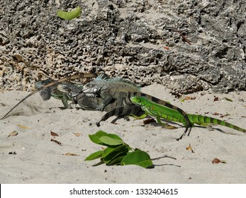 Colourful iguanas group mating in the sand on the beach of Guadeloupe archipelago in the Caribbean sea