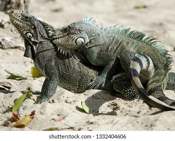 Colourful iguanas mating on the beach of Guadeloupe archipelago in the Caribbean sea