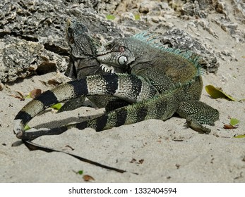 Colourful iguanas mating in sand on the beach of Guadeloupe archipelago in the Caribbean sea