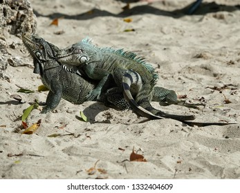 Colourful iguanas mating in the sand on the beach of Guadeloupe archipelago in the Caribbean sea