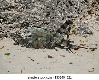 Colourful iguanas mating with tails up on the beach of Guadeloupe archipelago in the Caribbean sea