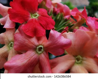 Colourful Lanai flowers, perfect garden flowers