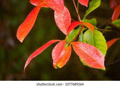 Colourful leaves of the Photinia Robusta plant against a dark background