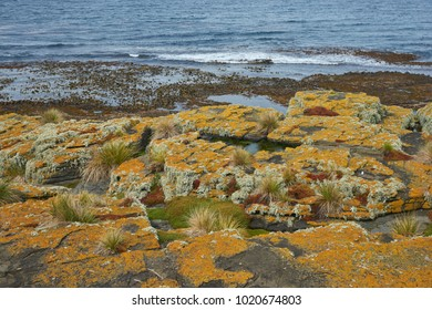 Colourful lichens and plants covering the rocky coastline of Bleaker Island on the Falkland Islands.