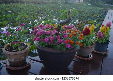 Colourful local Thai flowers called Benchamat, Benchamat nu (central),  Kek-huai (Chinese), or Dok-khi-kai (Northeast) blooming in pottery urns in different sizes on wooden balcony above the lake