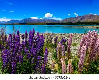Colourful lupins, Lake Tekapo
