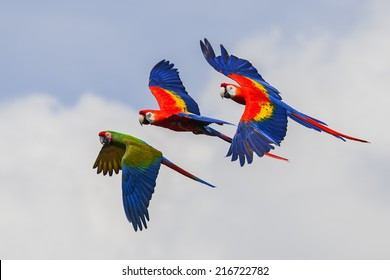 Colourful Macaws in flight