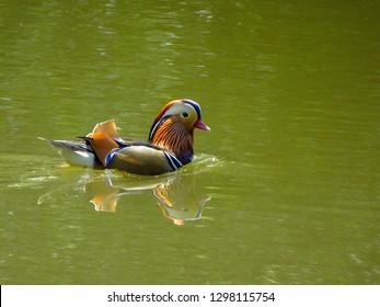 Colourful Mandarin Duck swimming in a pond in Putney Heath, London, UK