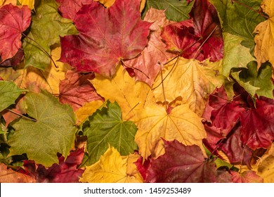 Colourful maple leaves texture background