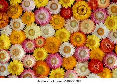 Colourful Mosaic of dried Straw Flowers ( Helichrysum bracteatum )