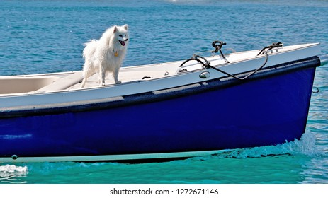 Colourful nautical image of an excited white fluffy Spitz dog standing on the deck of an old style blue boat, Sydney Harbour.