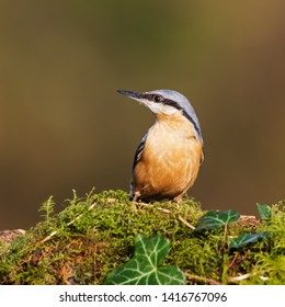 Colourful nuthatch. A lovely little nuthatch shows off its orange breast.
