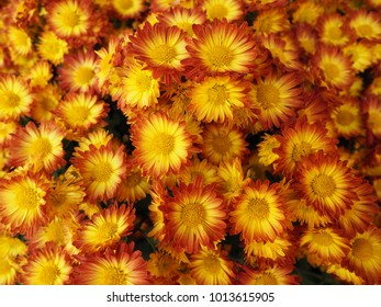 colourful orange and yellow  chrysanthemums flowers