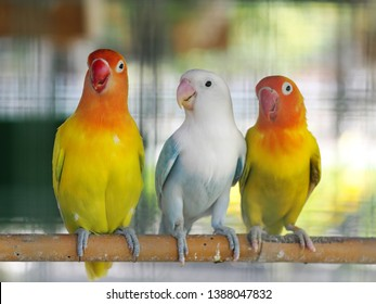 colourful pastel tone color lovebirds little cute young parrots with short tail making happy noisy high tone beaks in a large cage in pet shop for sale