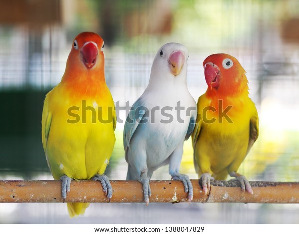Colourful Pastel Tone Color Lovebirds Little Stock Photo