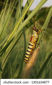 Colourful, patterned, Green milkweed locust, Phymateus species, South Africa